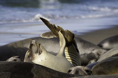 View elephant seals near Piedras Blancas light station near San Simeon, California