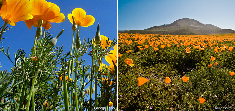 eschscholzia californica is a native species of poppy native to california and sunset