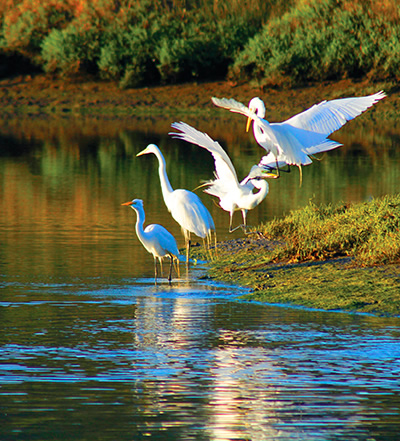 Morro Bay is on the Pacific Flyway and we have over 200 varieties of birds, both resident and migratory