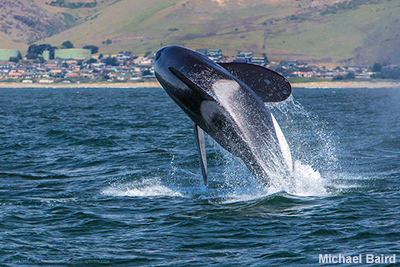 Gray Whales, Humpbacks and an occasional Orca can be seen along the Central Coast and from the bluffs at Montaña de Oro