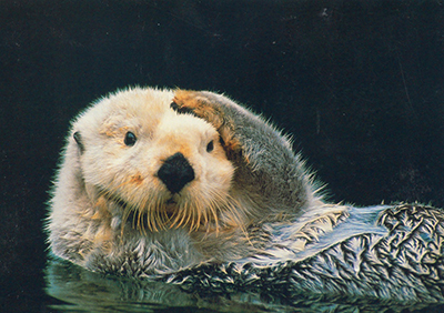 Otters in Morro Bay attract visitors and lots of praise